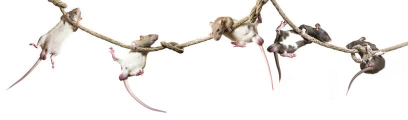 Rattus norvegicus - pet rat