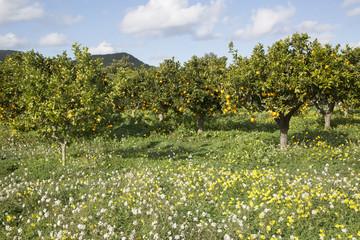 Orange Grove and Wild Flowers; Santa Agnes; Ibiza