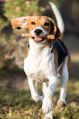 Perro beagle jugando al aire libre, animal de compañía