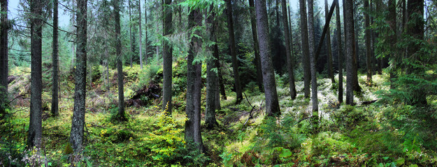 Panoramic image of a spruce forest in the summer.
