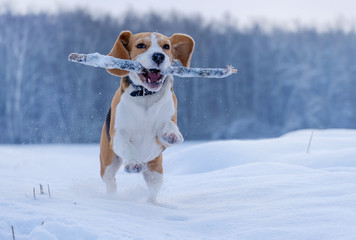 Beagle dog running around and playing with a stick in the snow