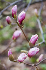 Macro of purple magnolia