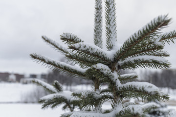 Snow on spruce needles. Fir branch in the snow.