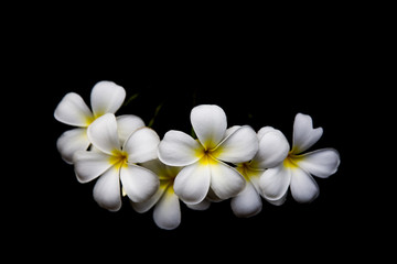 Champa white flowers in Laos, Thailand, Myanmar, Cambodia, Indonesia, Southeast Asia.