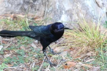 Black bird standing on dry grass