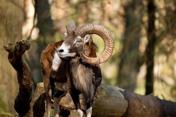 Muffelwild - Ovis aries musimon