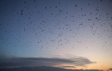 Large flocks of birds fly at dusk over the city of Sofia with Vitosha mountain seen in the background