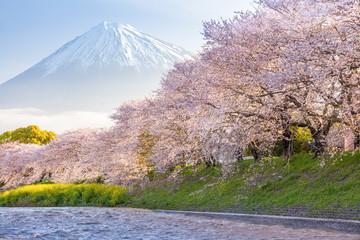 Beautiful Mountain Fuji and sakura cherry blossom in Japan spring season..