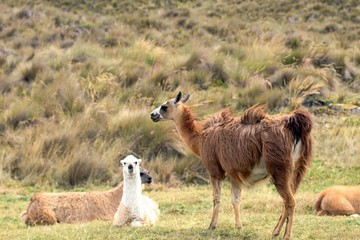 llamas in the wild