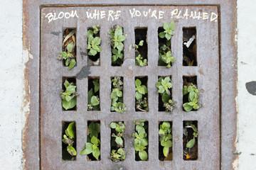 Gullydeckel, durch den Pflanzen wachsen mit der Aufschrift, 'Bloom, where you 're planted' 'blühe dort, wo Du gepflanzt wurdest'.Where: San Francisco, USA.When: 12.07.2015.