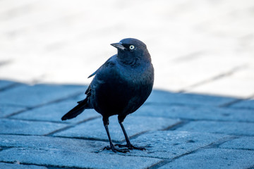 Rusty Blackbird (Euphagus carolinus) on a sidewalk in Nanaimo