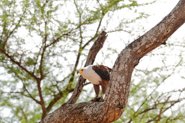 African Fish Eagle in a tree eating something (Haliaeetus vocifer) in the Tarangire National Park, Tanzania