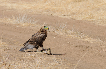 Tawny Eagle (Aquila rapax) eating a tortoise that has been killed by a vehicle running over it in Tarangire National Park; Tanzania