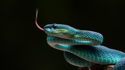 Blue pit viper from indonesia Fotomurales