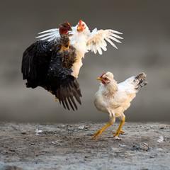 fighting chickens cockfight