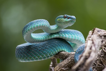 Blue pit viper from indonesia Fototapete