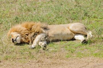 "Closeup of a male Lion sleeping (scientific name: Panthera leo, or ""Simba"" in Swaheli) image taken on Safari in the Ngorogoro National park, Tanzania"