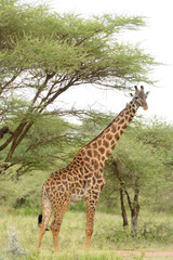 "Closeup of Masai Giraffe (scientific name: Giraffa camelopardalis tippelskirchi or ""Twiga"" in Swaheli) n the Serengeti National park,Tanzania"