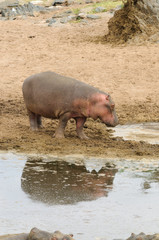 Closeup of Hippopotamus image taken on Safari located in the Serengeti National park,Tanzania