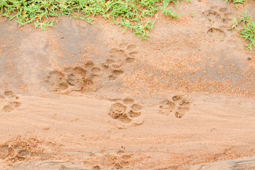 African Lion Tracks in the mud