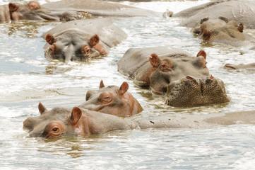 """Closeup of Hippopotamus (scientific name: Hippopotamus amphibius, or """"Kiboko"""" in Swaheli) image taken on Safari in the Serengeti National park, Tanzania"""