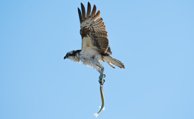Osprey carrying a needle fish