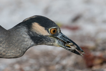 YELLOW CROWNED NIGHT HERON EATING A CRAB