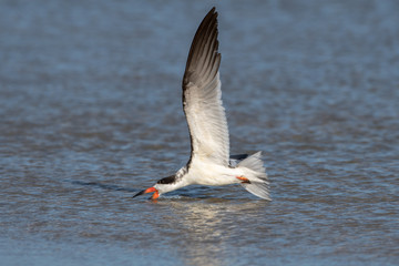Black Skimmer skimming the water