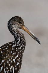Portrait of a Limpkin