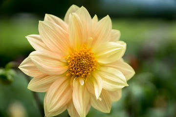 Dahlia flower in white and yellow color - closeup with blurred background