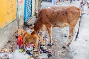 KOLKATA, INDIA - OCTOBER 30, 2016: Cow and a dog eat trash at a street in the center of Kolkata, India Papier Peint