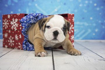 English Bulldog with snowflake background