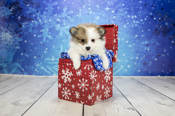 Pomeranian with snowflake background