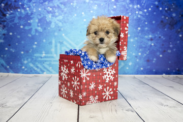 Shorkie with snowflake background