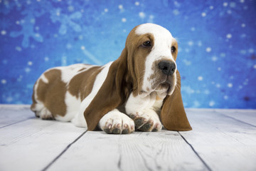 Basset Hound with snowflake background