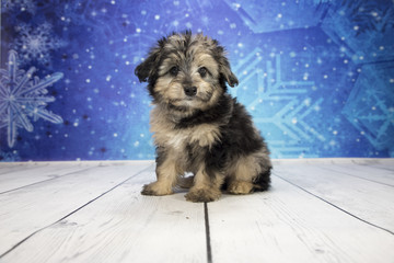 Miniature Aussie Poo with snowflake background