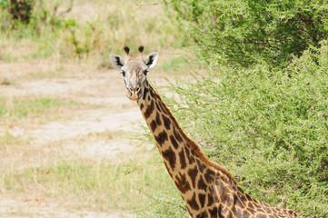 Closeup of Masai Giraffe, scientific name: Giraffa camelopardalis tippelskirchi