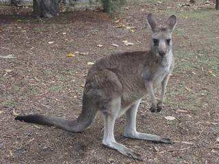 Kangaroo looking at you