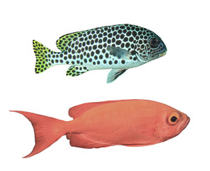 Reef fish isolated. Andaman Sweetlips and Crescent-tail Bigeye fish on white background