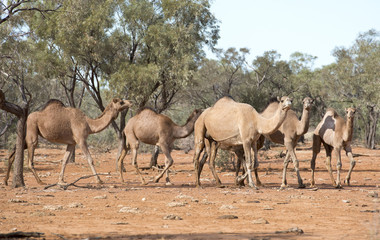 wild camels in  outback Queensland, Australia.