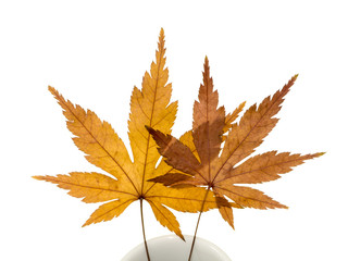 Maple leaves dry in white glass.