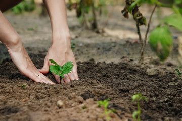 Women's hands put a sprout in the soil, close-up, Concept of gardening, gardening.