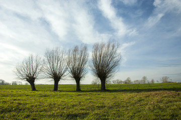 Row of willows growing on a green meadow