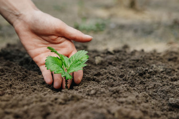 Women's hands put a sprout in the soil, close-up, Concept of gardening, gardening. copy space