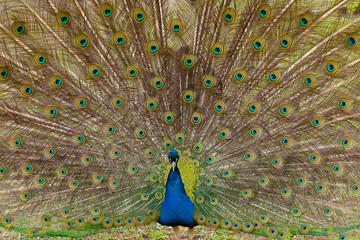 Beautiful bird male peacock close up. Shot made in Reservation Askania Nova, Ukraine