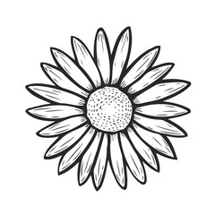 Camomile flower hand drawn