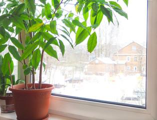 Green houseplant in a pot on the windowsill in the winter. Castanospermum.