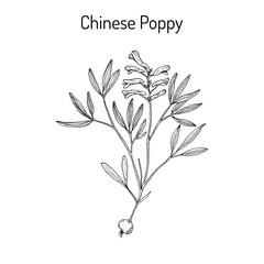 Chinese-poppy Corydalis yanhusuo , medicinal plant