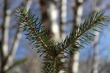 fir needle of spruce