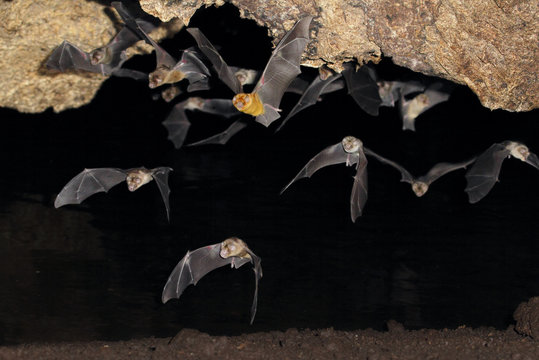 African trident bats (Triaenops afer) emerging from a cave at night, coastal Kenya